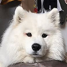 """Samoyeds Are Serious Contenders For """"The Cutest Dog Breed"""