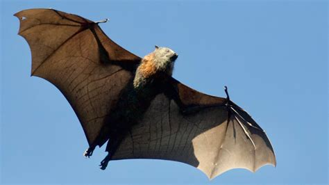 Giant Bats from the Philippines Trend on Social Media