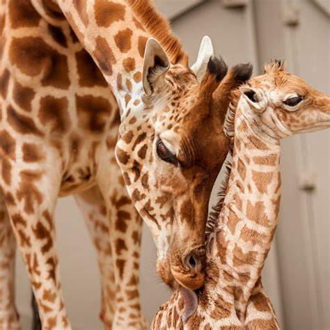 Adorable Pictures Show Proud Mother Giraffe Nursing Her