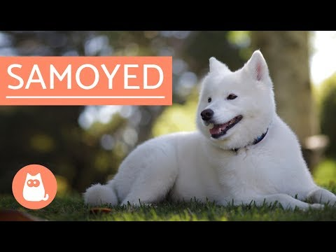 SAMOYED AND AMERICAN ESKIMO | DOGS FOR EVERYONE