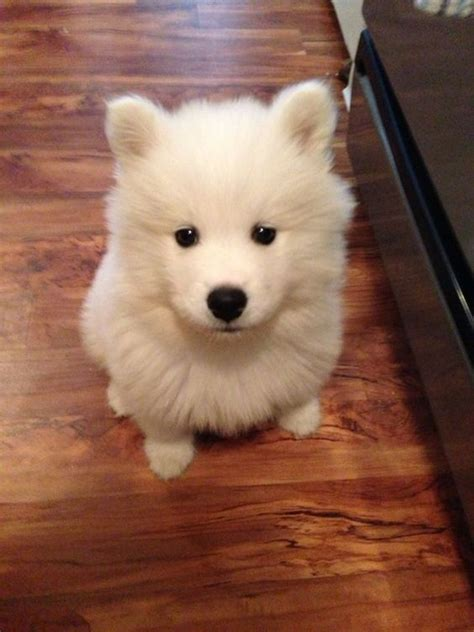 21 Foods Your Samoyed Dog Should Never Eat – The Paws
